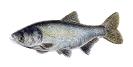 Naše druhy ryb_18
