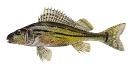 Naše druhy ryb_20