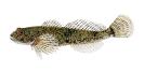 Naše druhy ryb_22