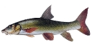 Naše druhy ryb_24