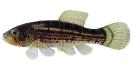 Naše druhy ryb_28