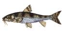 Naše druhy ryb_29