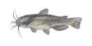 Naše druhy ryb_31