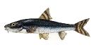 Naše druhy ryb_38