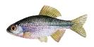 Naše druhy ryb_39