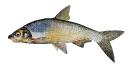 Naše druhy ryb_3