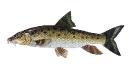Naše druhy ryb_47