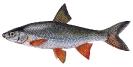 Naše druhy ryb_53