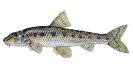 Naše druhy ryb_57