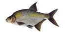 Naše druhy ryb_6